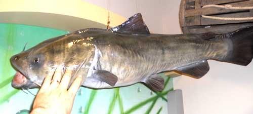 The Big CatFish