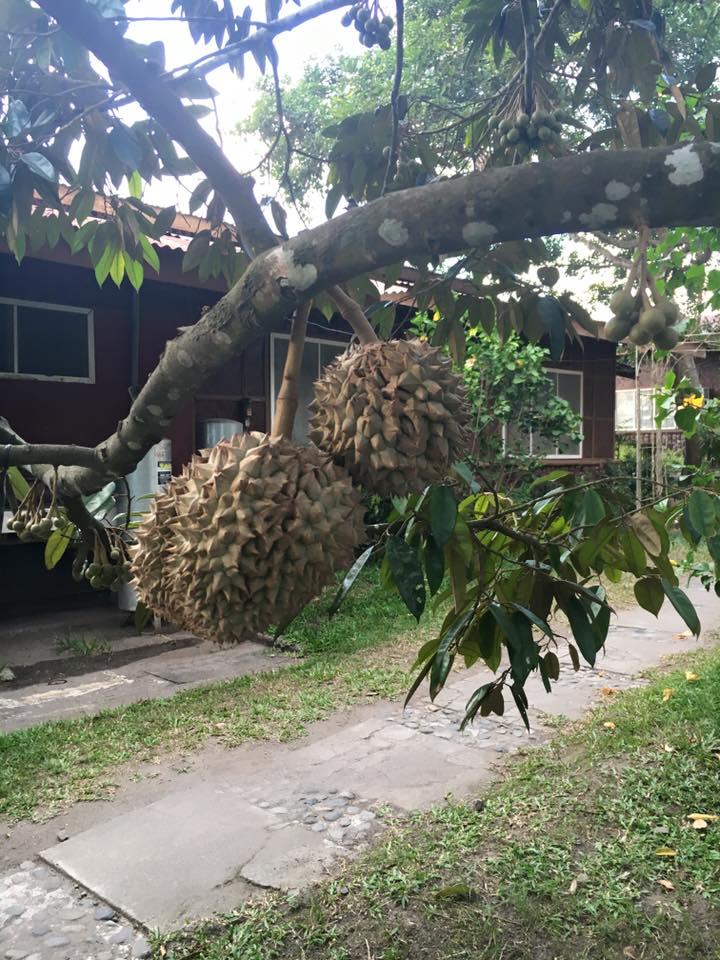 durian-garden6